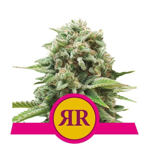 Royal Queen Seeds - Royal Runtz