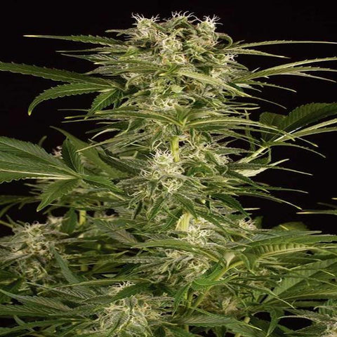 Humboldt Seeds - Lemon Juice Express Auto - The JuicyJoint