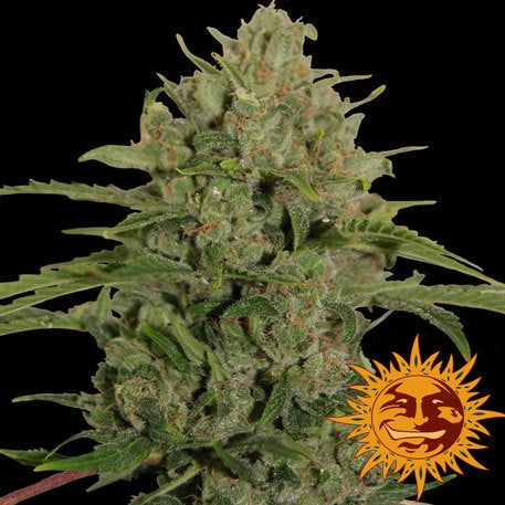 Barneys Farm Seeds - Triple Cheese - The JuicyJoint