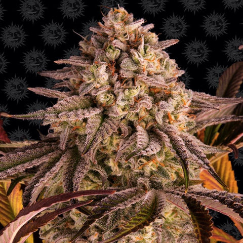 Barneys Farm Seeds - Blue Sunset Sherbert