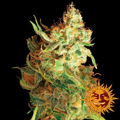 Barneys Farm Seeds - Red Dragon - The JuicyJoint