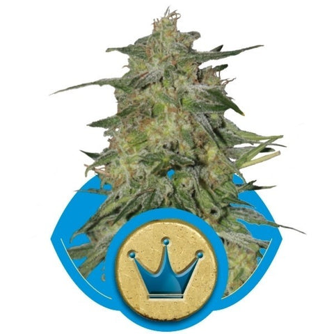 Royal Queen Seeds - Royal Highness CBD - The JuicyJoint