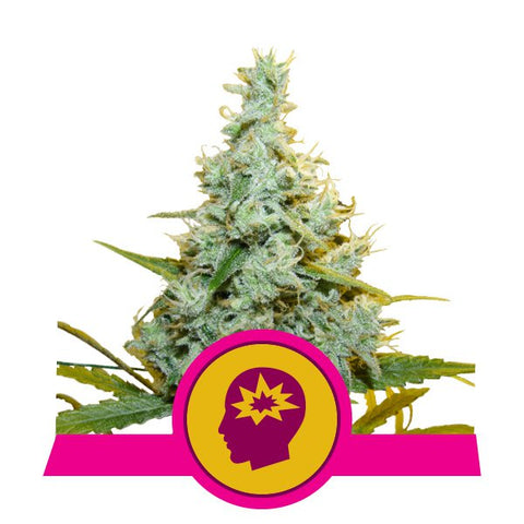 Royal Queen Seeds - AMG ( Amnesia Mac Ganja )