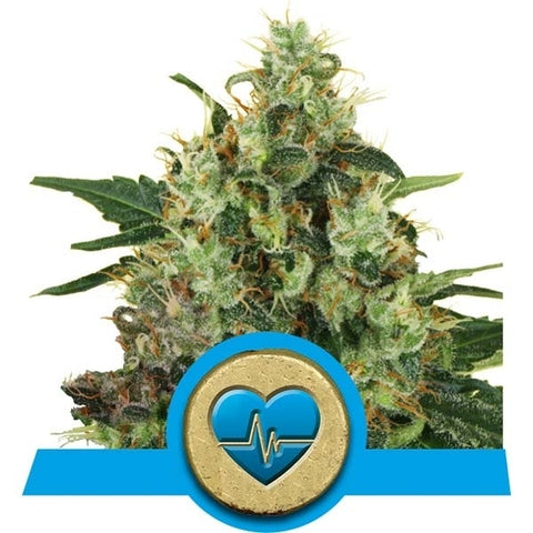 Royal Queen Seeds - Medical Mass (CBD) - The JuicyJoint