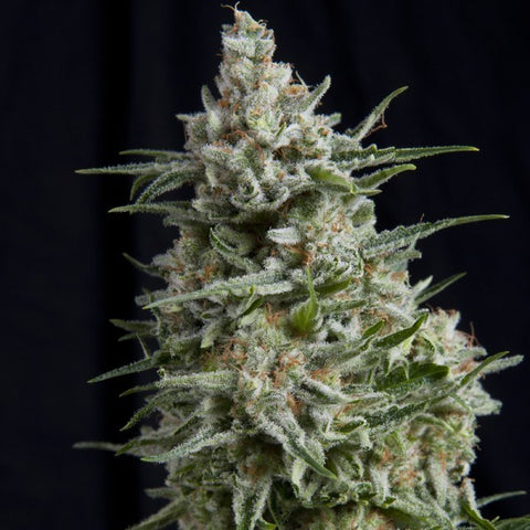 Pyramid Seeds - Anesthesia - The JuicyJoint