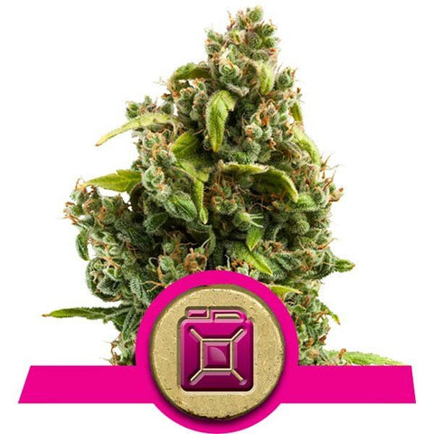 Royal Queen Seeds - Sour Diesel - The JuicyJoint