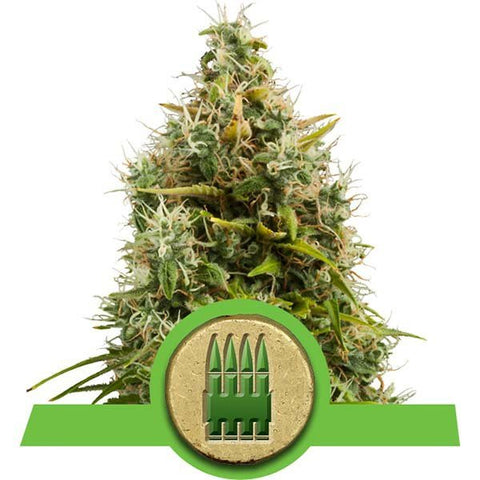 Royal Queen Seeds - Royal AK Automatic - The JuicyJoint