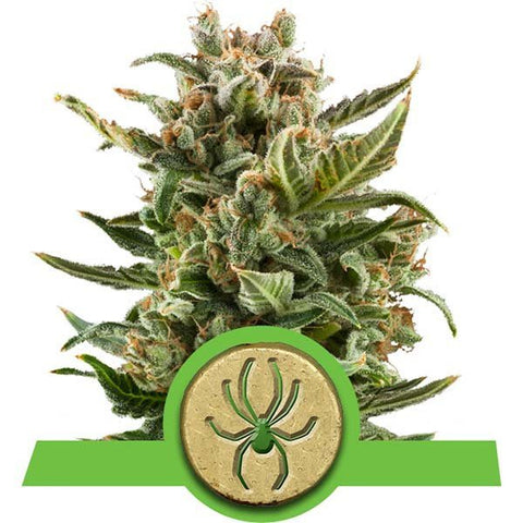 Royal Queen Seeds - White Widow Automatic - The JuicyJoint