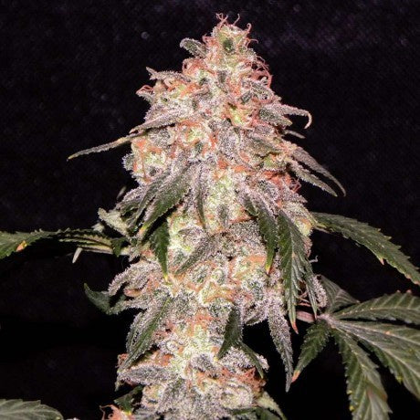 Nirvana Seeds - Aurora Indica Regular - The JuicyJoint