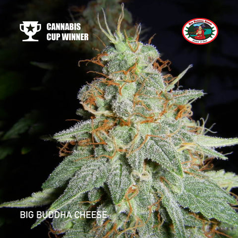 Big Buddha Seeds - Cheese - The JuicyJoint