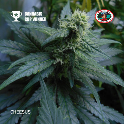Big Buddha Seeds - Cheesus - The JuicyJoint