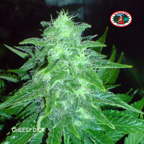 Big Buddha Seeds - Cheesy Dick - The JuicyJoint