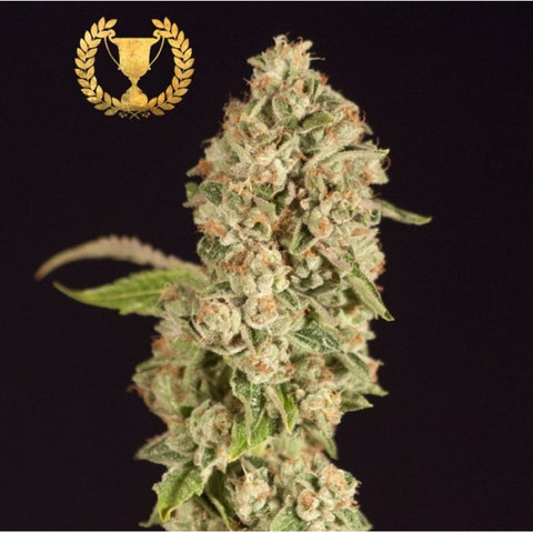 Devils Harvest Seeds - OG Reek'N - The JuicyJoint