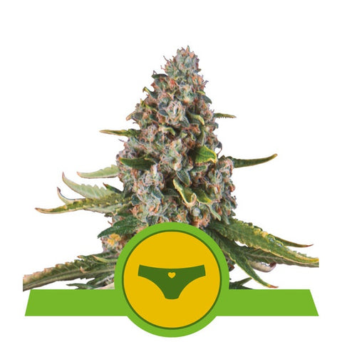 Royal Queen Seeds - Sherbet Queen Automatic