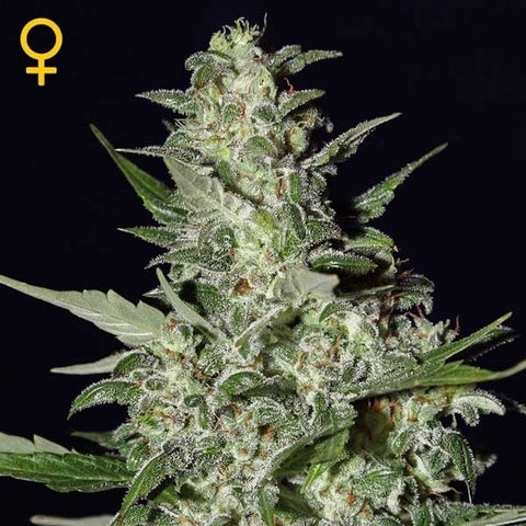 Green House Seeds - Super Critical - The JuicyJoint