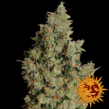 Barneys Farm Seeds - Tangerine Dream - The JuicyJoint