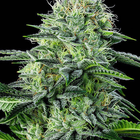 Anesia Seeds - Strawberry Banana Auto