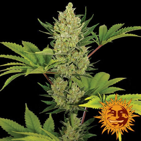 Barneys Farm Seeds - Blue Cheese Automatic - The JuicyJoint
