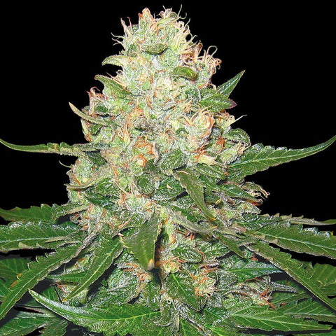 DNA Genetics - GYO: Rocklock - The JuicyJoint