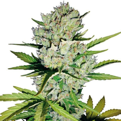 Sensi Seeds - Super Skunk Auto - The JuicyJoint