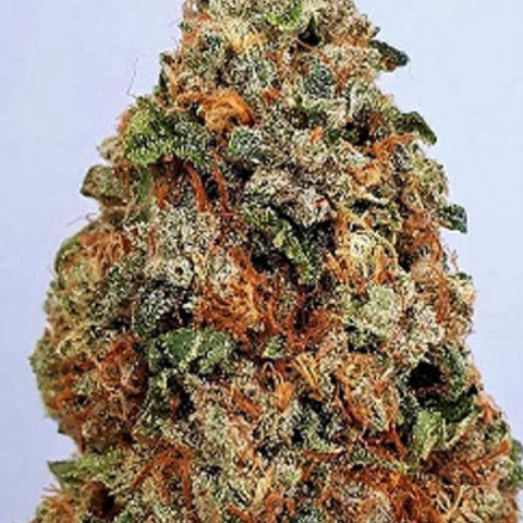 Big Head Seeds - Dogstar Dawg