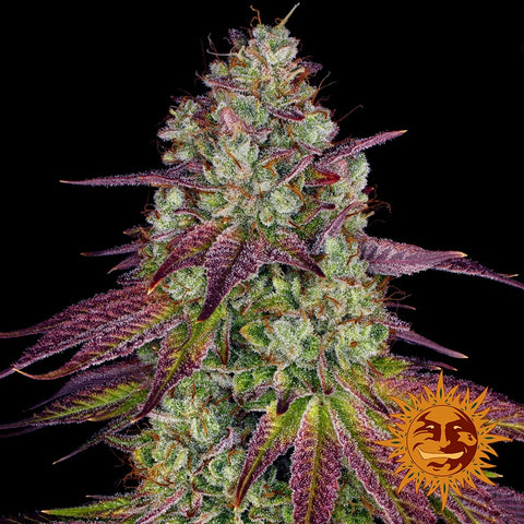 Barneys Farm Seeds - MIMOSA EVO™