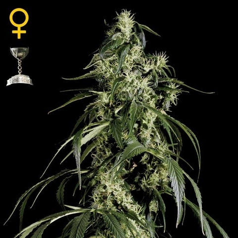 Green House Seeds - Arjan's Haze #1 - The JuicyJoint