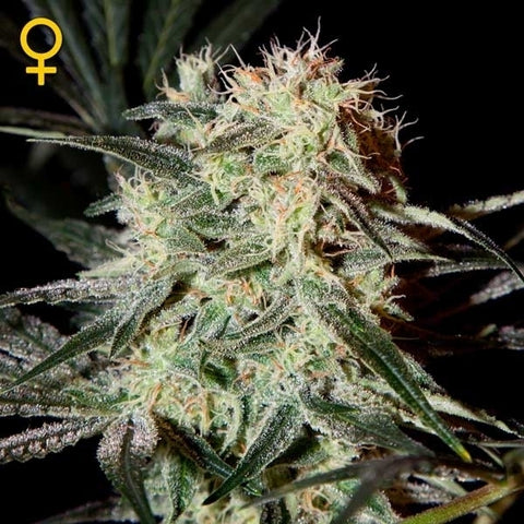 Green House Seeds - Arjan's Strawberry Haze - The JuicyJoint