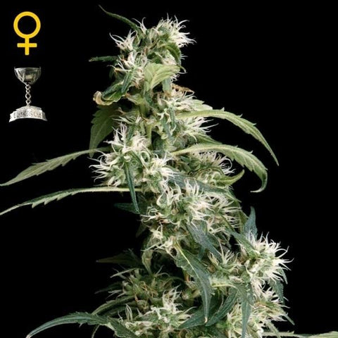 Green House Seeds - Arjan's Ultra Haze #1 - The JuicyJoint