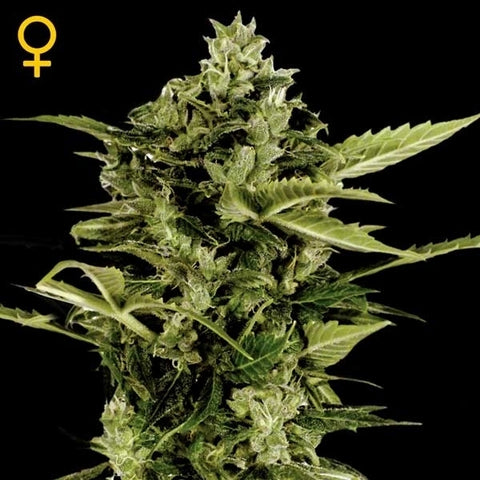 Green House Seeds - Auto Bomb - The JuicyJoint