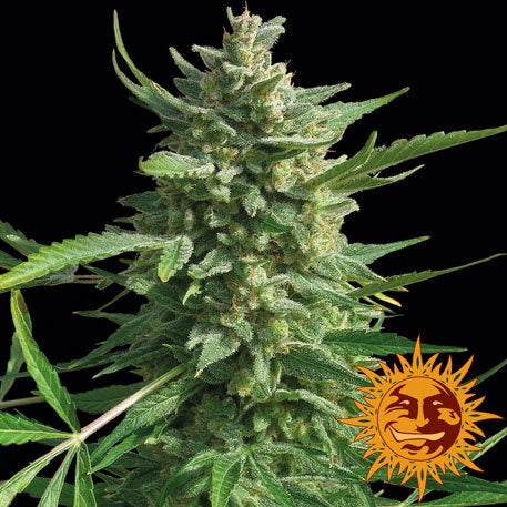 Barneys Farm Seeds - Critical Kush - The JuicyJoint