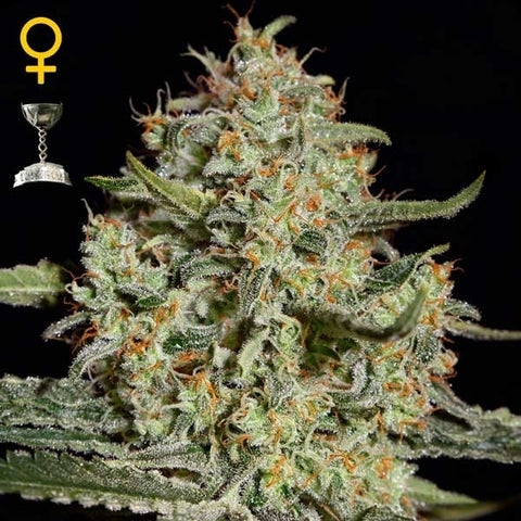 Green House Seeds - Big Bang Auto - The JuicyJoint