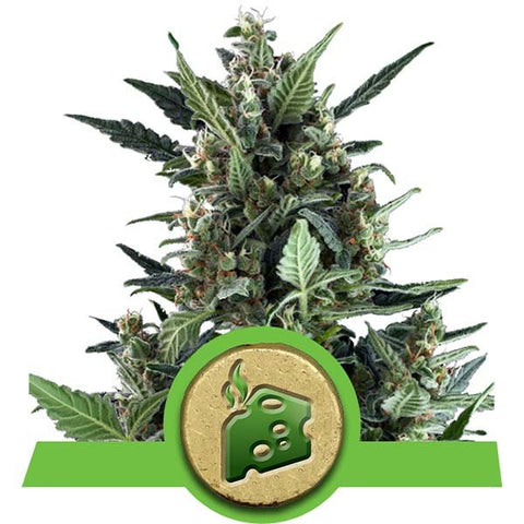 Royal Queen Seeds - Blue Cheese Automatic - The JuicyJoint