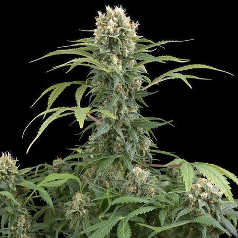 Dinafem - Critical Cheese Auto - The JuicyJoint