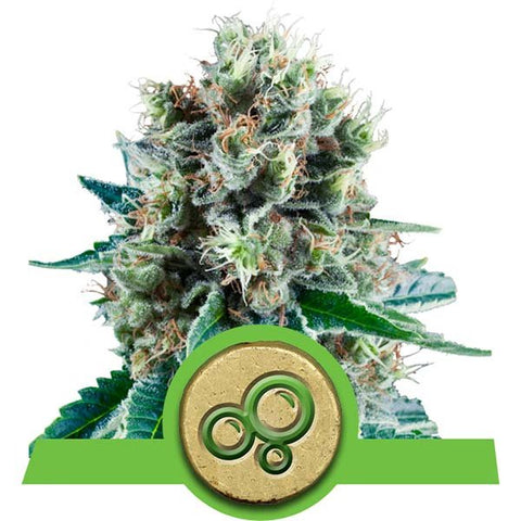 Royal Queen Seeds - Bubble Kush Automatic - The JuicyJoint