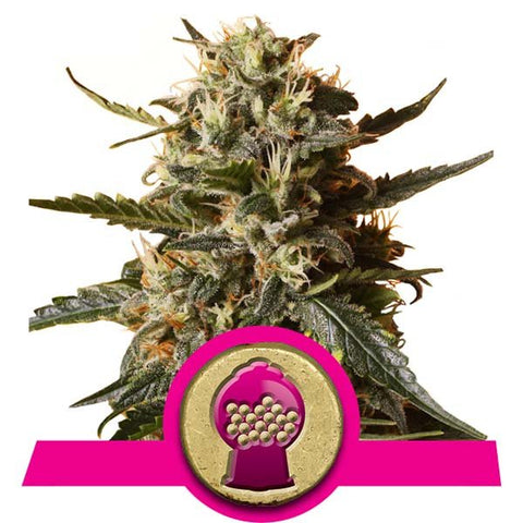Royal Queen Seeds - Bubblegum XL - The JuicyJoint