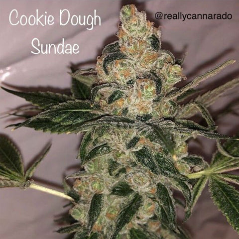 Cannarado Genetics - Cookie Dough Sundae