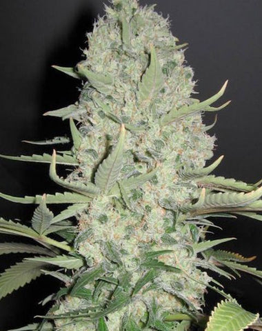 Female Seeds - White Widow x Big Bud - The JuicyJoint