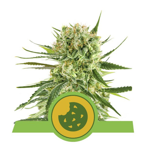 Royal Queen Seeds - Royal Cookies Auto - The JuicyJoint