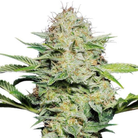 Sensi Seeds - Sensi Skunk Auto - The JuicyJoint