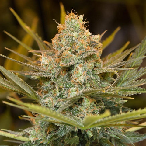 Humboldt Seeds - Three Blue Kings