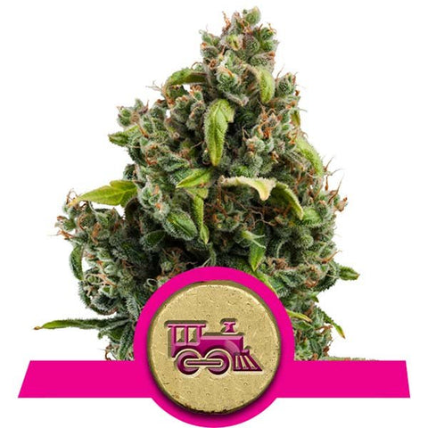 Royal Queen Seeds - Candy Kush Express (Fast Version) - The JuicyJoint