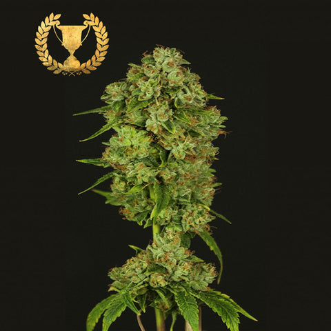 Devils Harvest Seeds - Casey Jones - The JuicyJoint