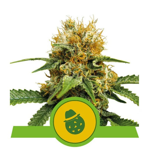 Royal Queen Seeds -Do-Si-Dos Automatic