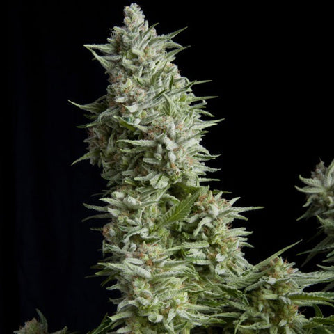Pyramid Seeds - Alpujarrena - The JuicyJoint