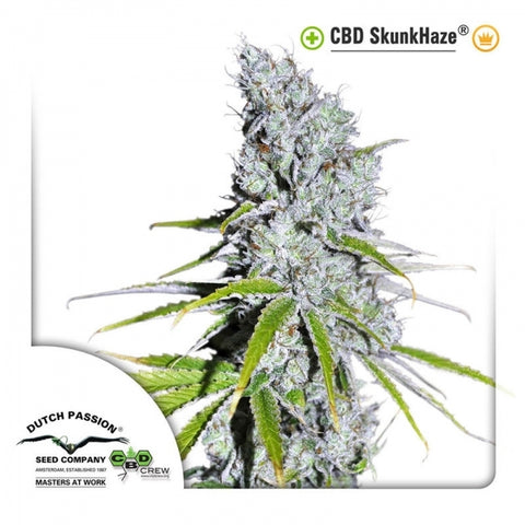 Dutch Passion Seeds - CBD Skunkhaze - The JuicyJoint