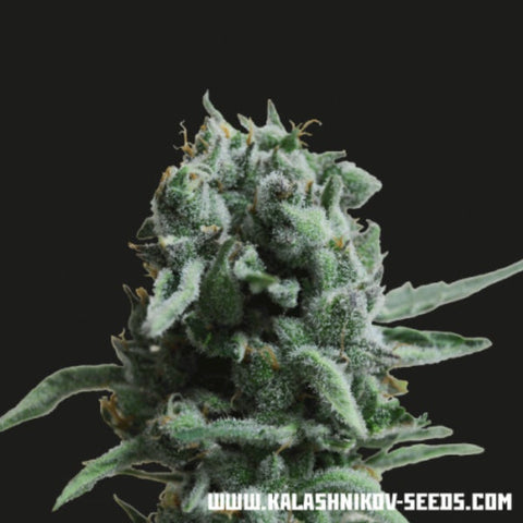 Kalashnikov Seeds - White Widow 47