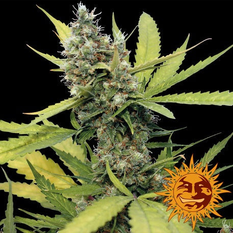 Barneys Farm Seeds - Honey B - The JuicyJoint