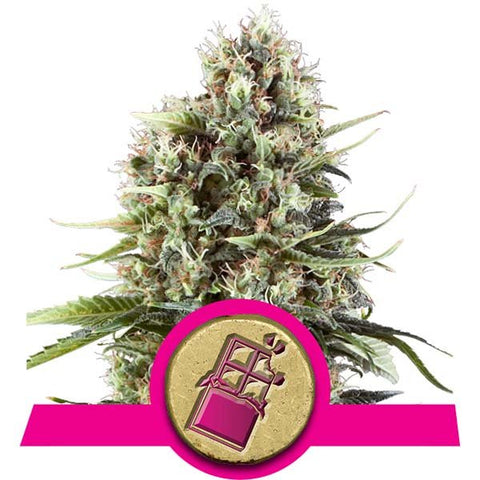 Royal Queen Seeds - Chocolate Haze - The JuicyJoint