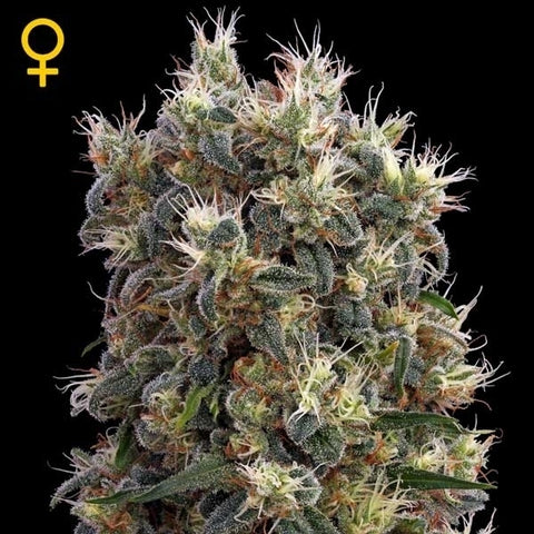 Green House Seeds - The Church - The JuicyJoint